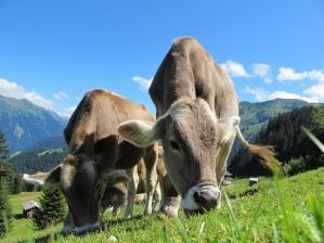 cows-cow-203460-1280x960