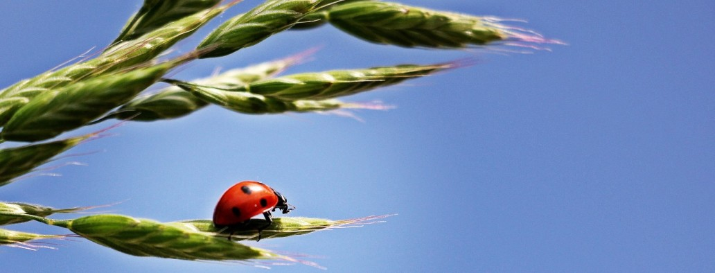 ladybugcropped